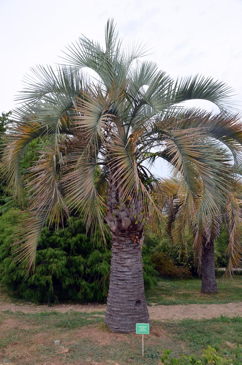 1. Пальма.