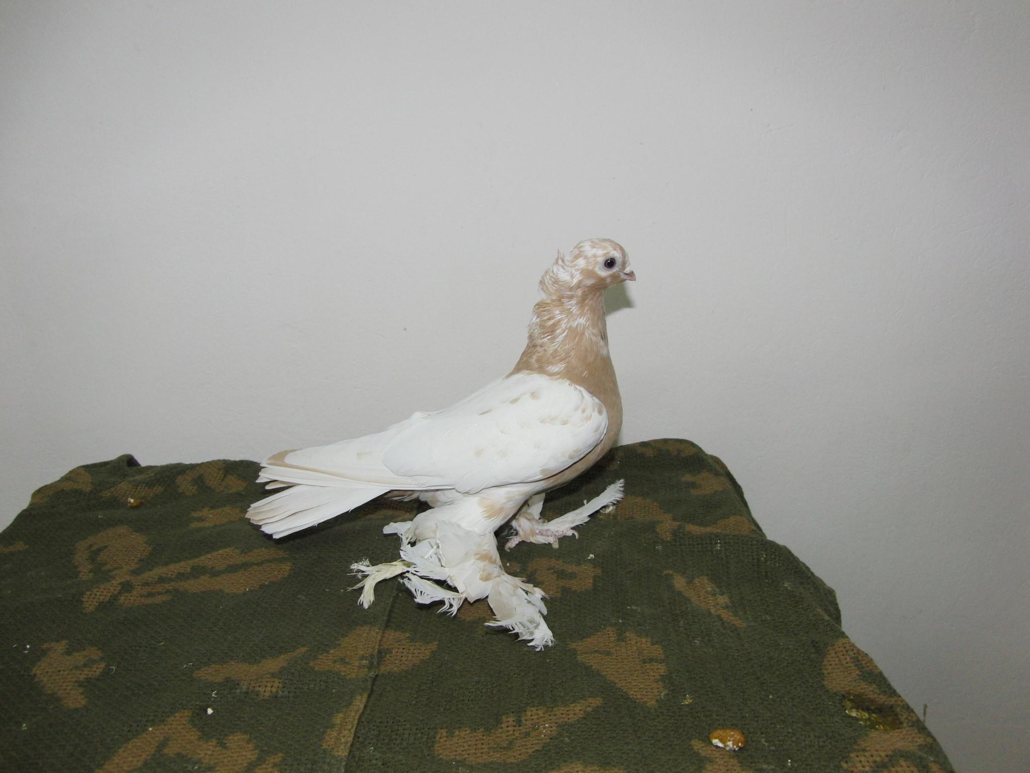 веселые красочные узбекские голуби фото с названиями может быть